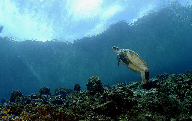 tortues-moalboal-4